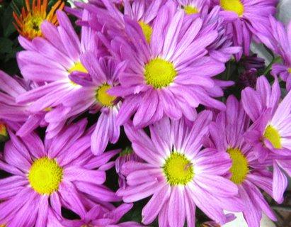FOTKA - chryzantéma loňská