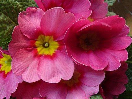 FOTKA - primulka v ružovom šate