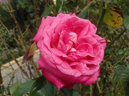 FOTKA - jesenná ruža medzi zoschnutými listami