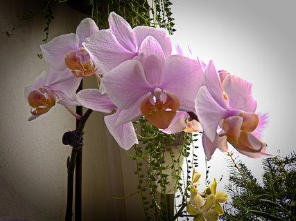 FOTKA - Orchidejka od mužíčka :-)))))))))