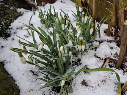 FOTKA - sněženky na sněhu