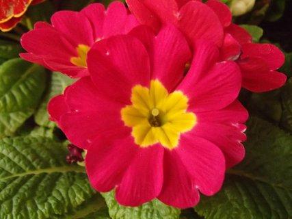 FOTKA - ružová primulka so žltým stredom