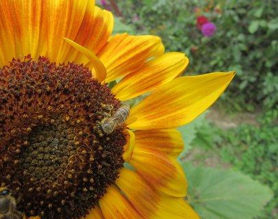 FOTKA - letní fotka slunečnice