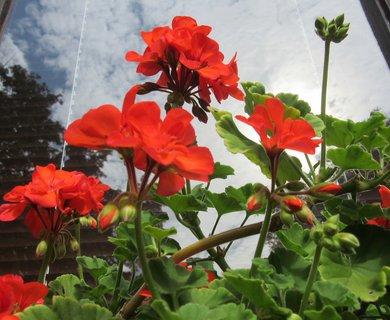 FOTKA - letní fotka muškátu