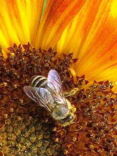 FOTKA - letní fotka včeličky