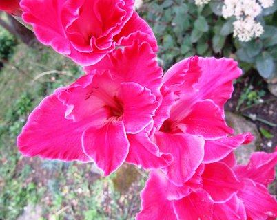 FOTKA - letní fotka gladioly