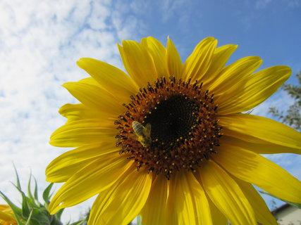 FOTKA - letní fotka slunečnice se včelou