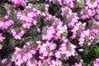 hezky kvete-vřesovec