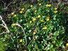 Žluté kvítečky orseje (12.4.)