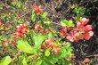 Čakovický park - druhý keř v květu