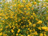 Keř je obalený květy (24.4.)