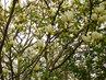 Kvetoucí koruna bílé magnolie (25.4.)