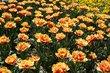 Farebné tulipány