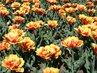 Tulipánová lúka