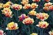 Lúka tulipánov
