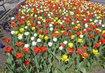 tulipánová nádhera v Poděbradech