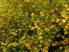 Tisíce žlutých květů (27.4.)