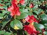 Keřík s červenými květy (27.4.)