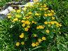 Je tu mokřina, tak zde kvetou i blatouchy (27.4.)