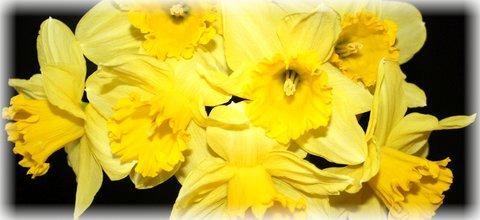 FOTKA - Žluté narcisy