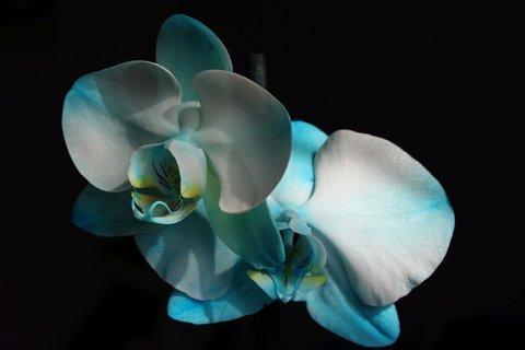FOTKA - Modrá orchidea