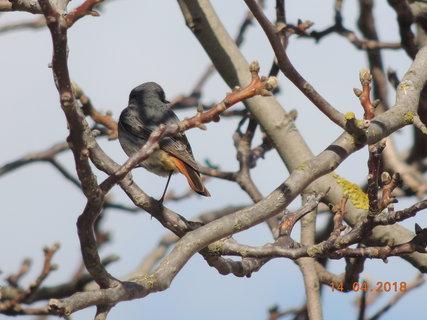 FOTKA - Rehek ve větvích ořechu