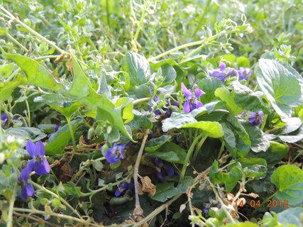 FOTKA - Fialky v trávě