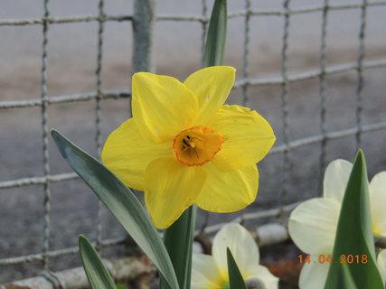 FOTKA - Narciska žlutá