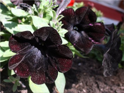 FOTKA - Petunie černé