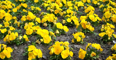 FOTKA - Macešky žluté