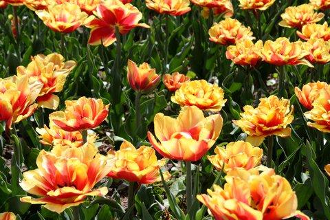 FOTKA - Tulipány farebné