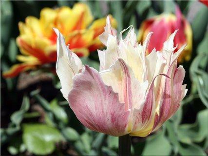 FOTKA - Tulipán strapatý