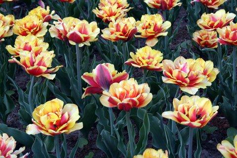 FOTKA - Lúka tulipánov
