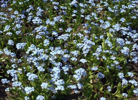 FOTKA - Modrý koberec z nezábudiek