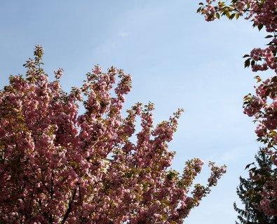 FOTKA - Strom sakury