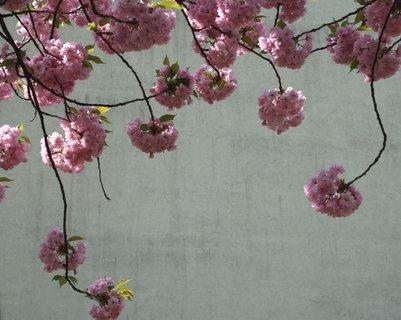 FOTKA - Kvety japonskej čerešne