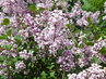 Květy minišeříku (14.5.)