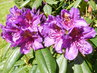 Fialové květy ozářené sluncem (14.5.)