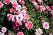 Ružová louka