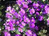 fialová kráska do truhlíku