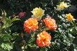 Růže nesmí chybět