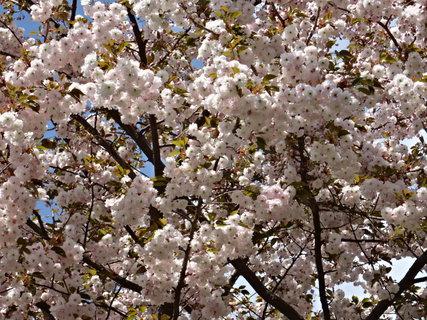 FOTKA - jarní kvetoucí strom.