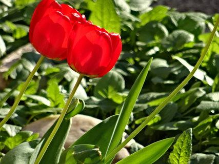 FOTKA - 2 tulipány v trávě,jaro