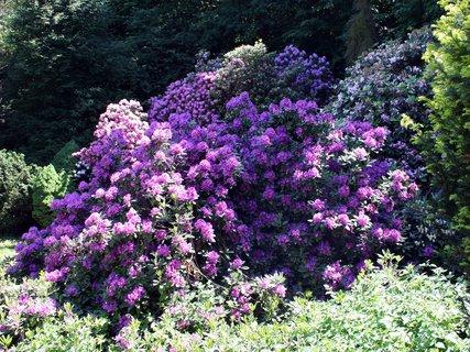 FOTKA - Nádhera rododendronov