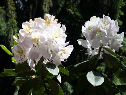 FOTKA - Dvojica bílych rododendronú