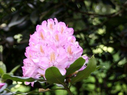 FOTKA - Ružový kvet rododendronu