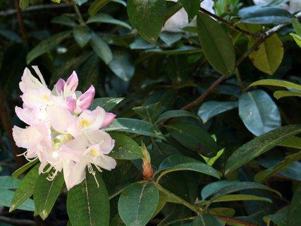 FOTKA - Kvet rododendronu