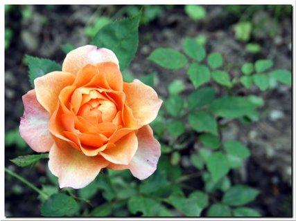 FOTKA - Ružovožltá ruža