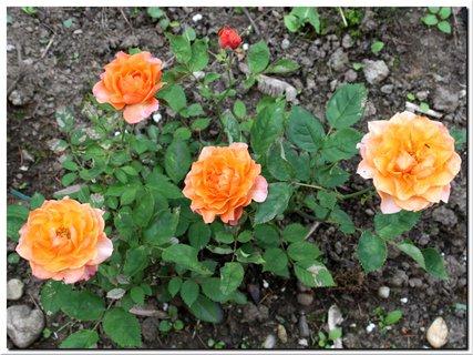 FOTKA - Štyri malé ruže