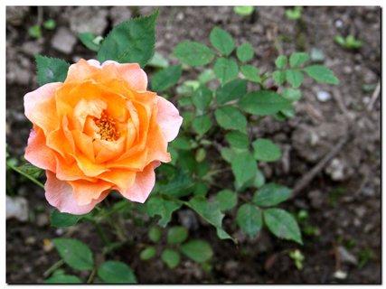 FOTKA - Ruža pomarančová